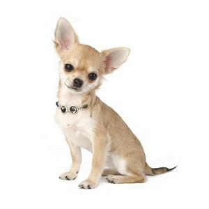 Les élevages de Chihuahua à poil court